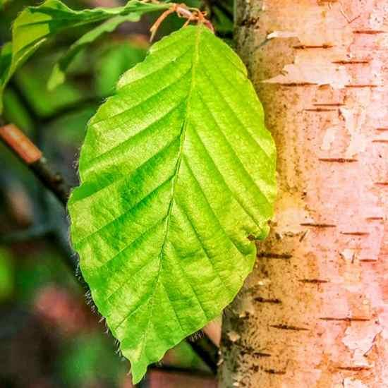 leaf 3347680 550